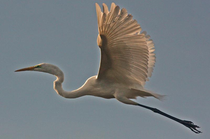 WB~Rookery Egret flight1280.jpg