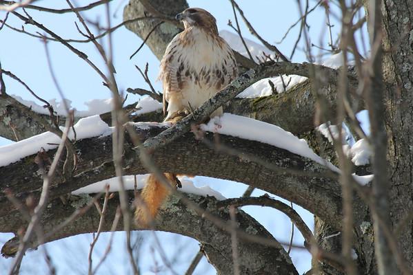 Hawk Selection January 2013
