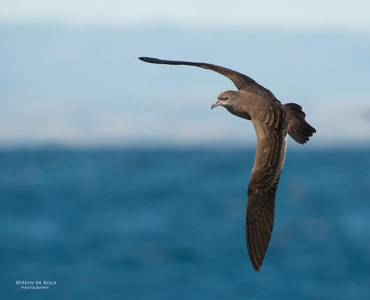 Wedge-tailed Shearwater, Wollongong, NSW, Oct 2012-1.jpg