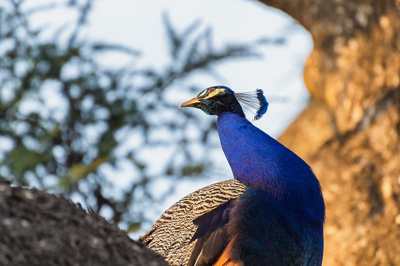 peacock13May2016-10-Edit-Edit.jpg