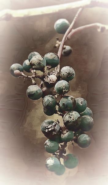 Wild Grapes iMemories.jpg
