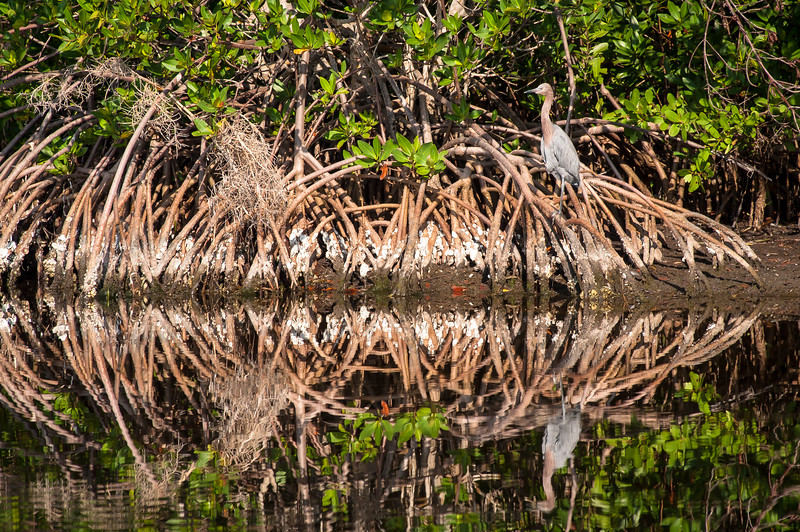 Reddish Egret sitting in Cypress tree roots