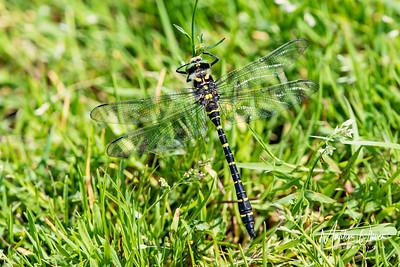 Dragonfly, Golden-Ringed
