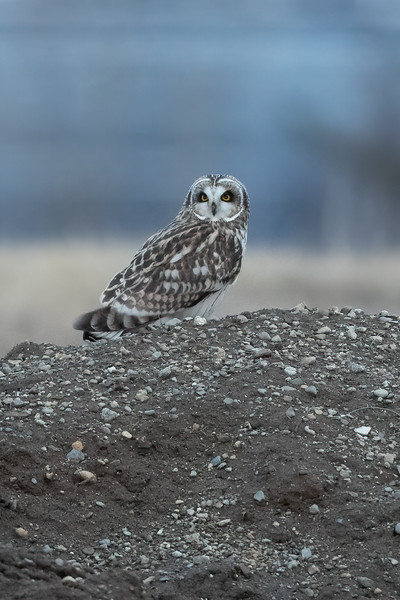 #1595 Short-eared Owl
