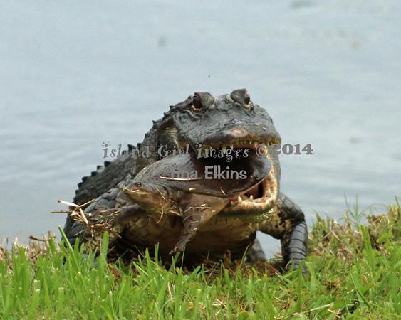 Gators in Oyster Creek