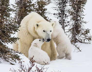Baby Polar Bears 2016