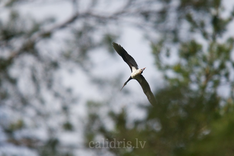 Black Stork in flight