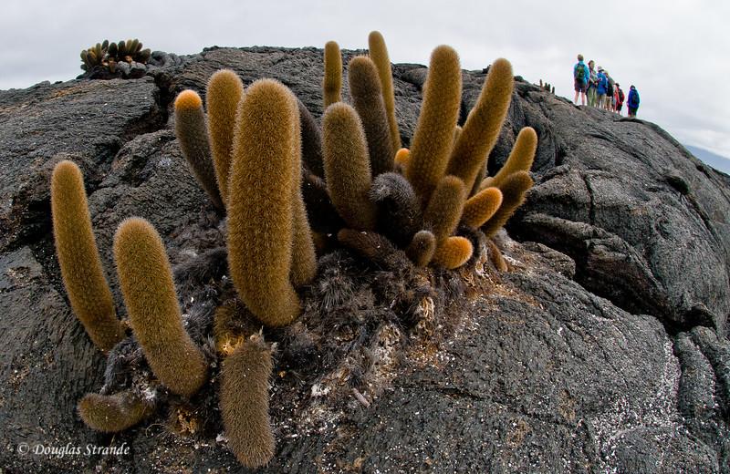 Lava cacti at Punta Espinoza, Fernandina Island