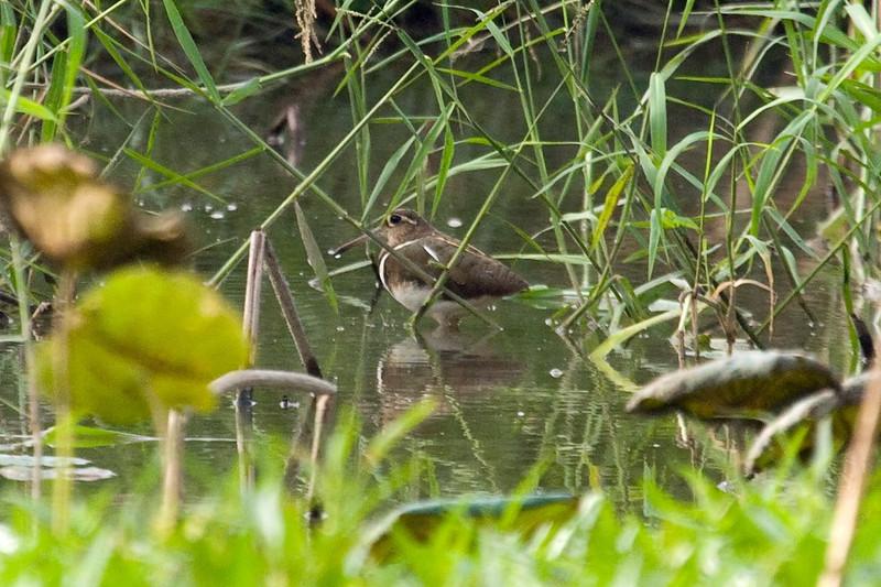 Greater Painted Snipe male at Long Valley, Hong Kong, China (11-8-08).psd