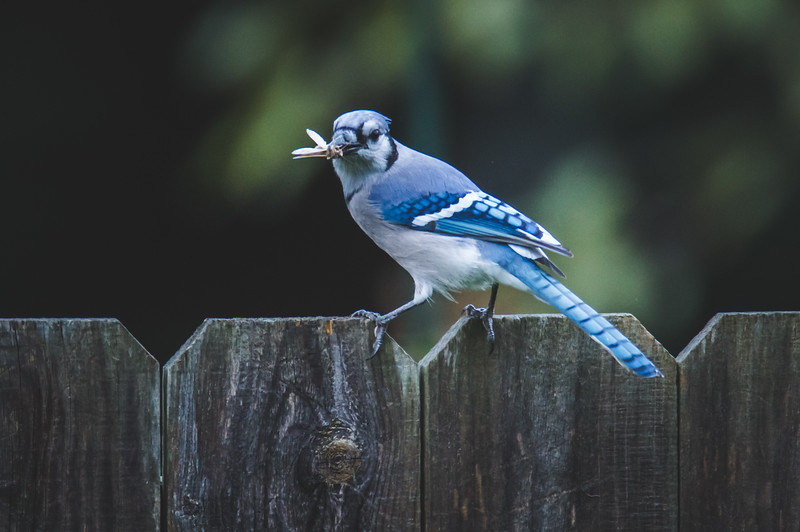 A Blue Jay feasting on a moth in West Lafayette, Indiana