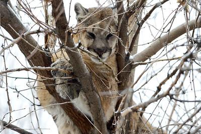 Photos: Mountain Lion in Boulder