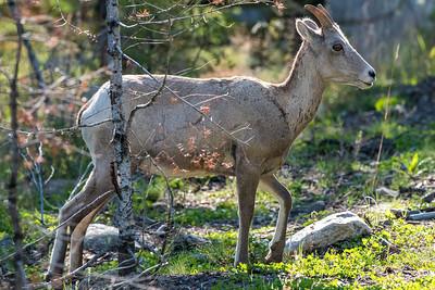 Big Horn in woods