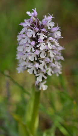 Conical Orchid (Neotinea conica)