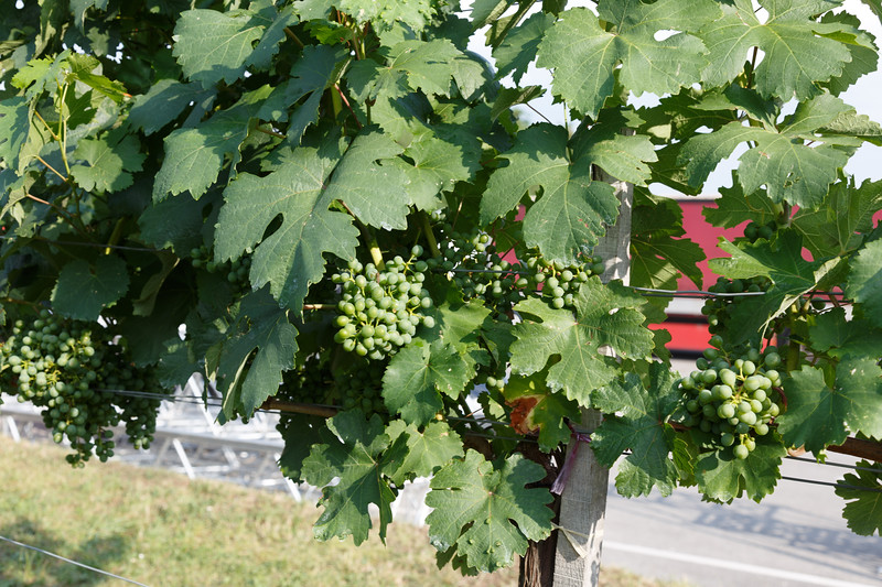 The grapes are growing well on the vines at the cooperative.