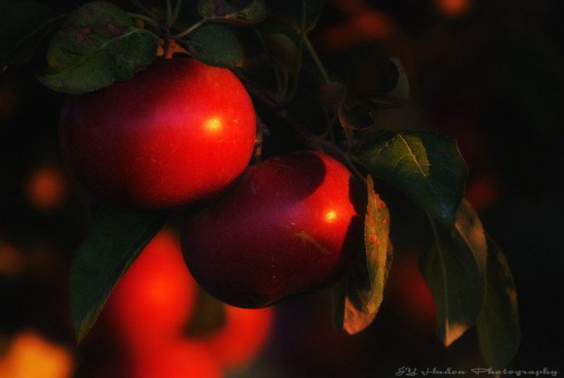 I use to live in an area of the country where orchards were everywhere. It is was almost a ritual to go picking our own apples. I noticed these apple trees while looking for images around town; the sun was low and nicely wrap them. Have a great day - JY
