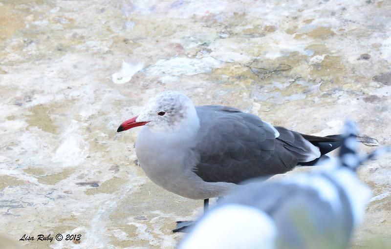Heerman's Gull - 12/1/13 - La Jolla Cove