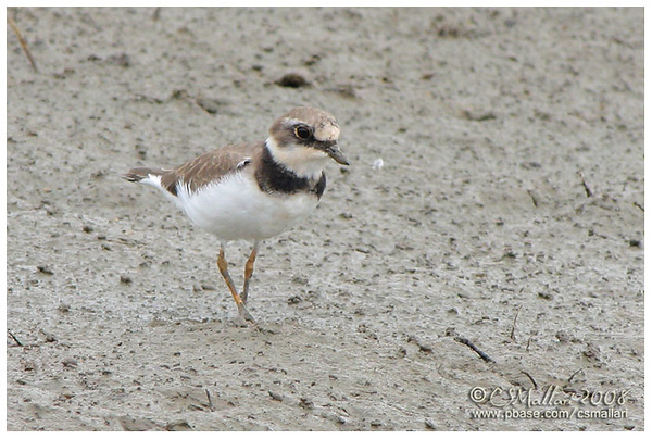 Lapwings, Plovers - Family: Charadriidae