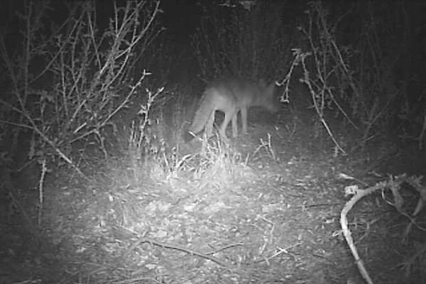 Coyote1.AVI