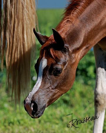 Perry Arabians