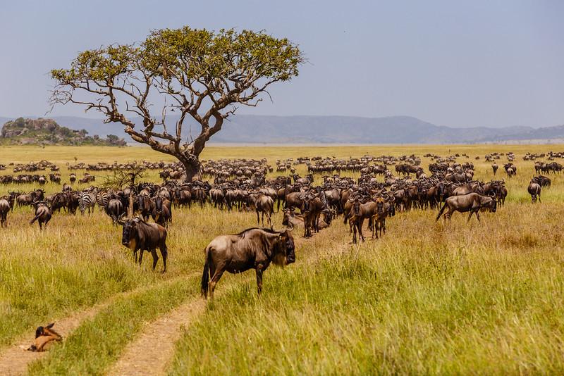 Wildebeest - The Great Migration