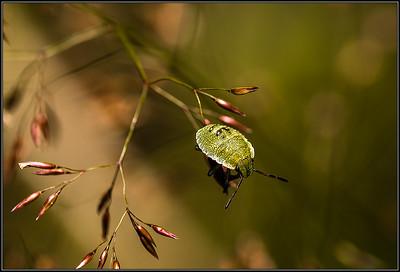 Groene schildwants/Green shield bug