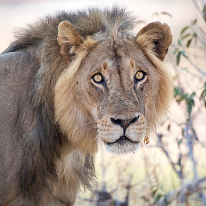 Lions of Ruaha