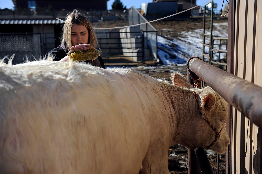 . CASTLE ROCK, CO - JANUARY 17: Rochelle Quinn uses a brush to scrub the hair of her short horn cow Lacy while prepping the bovine for show at her home in Castle Rock, Colorado on January 17, 2014. Quinn will be showing her animals during the National Western Stock Show this weekend in Denver. (Photo by Seth McConnell/The Denver Post)