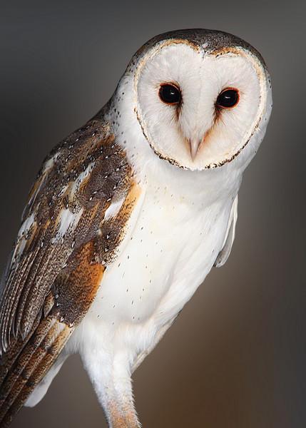BARN OWL - CALIFORNIA