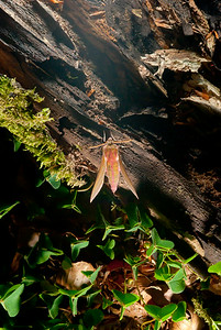 Fota nattfjärilar