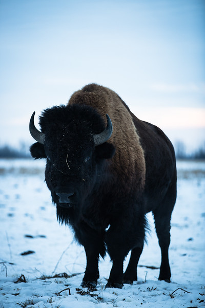 AHP171212_buffalo1479.jpg