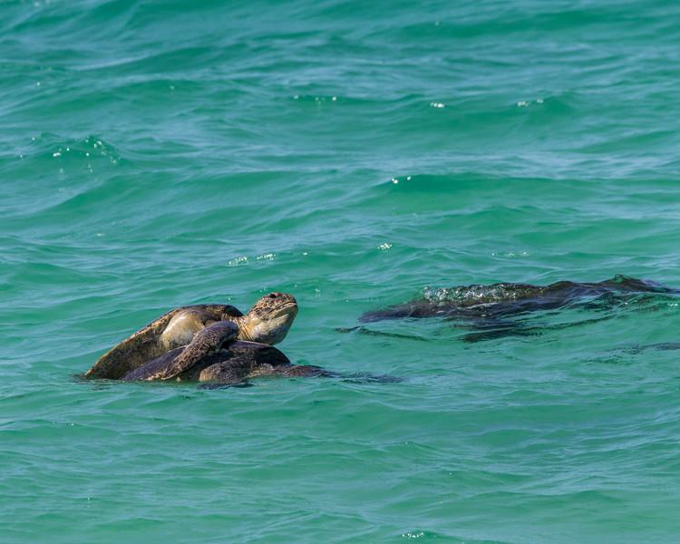 Turtles Mating - Galapagos