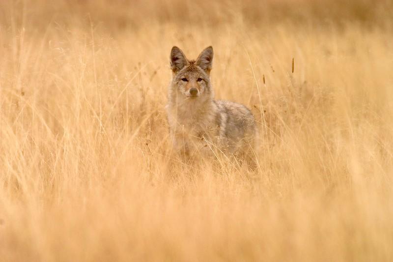 Coyote in Center 771_7182.jpg