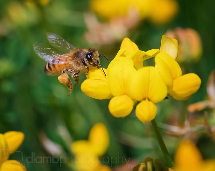 Honey Bee Feeding In Flight