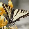 Eastern Tiger Swallowtail Bumps 6-legged Pest