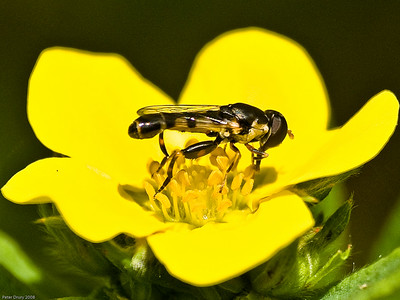 Hover-flies (Syrphidae) for ID