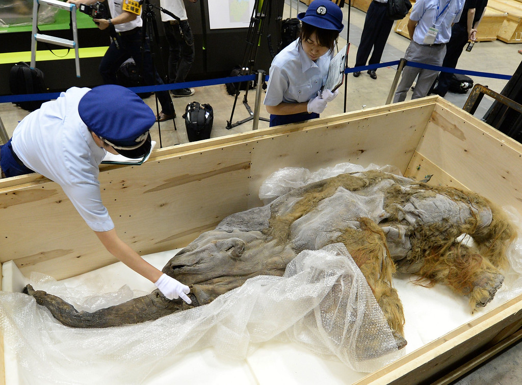 . Members of Japan customs inspect a 39,000-year-old female baby woolly mammoth Yuka from Siberian permafrost upon its arrival at an exhibition hall in Yokohama, suburban Tokyo on July 9, 2013. The frozen woolly mammoth will be exhibited from July 13 until September 16. KAZUHIRO NOGI/AFP/Getty Images