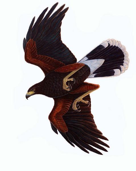 Southwest Raptor Project Harris's Hawks