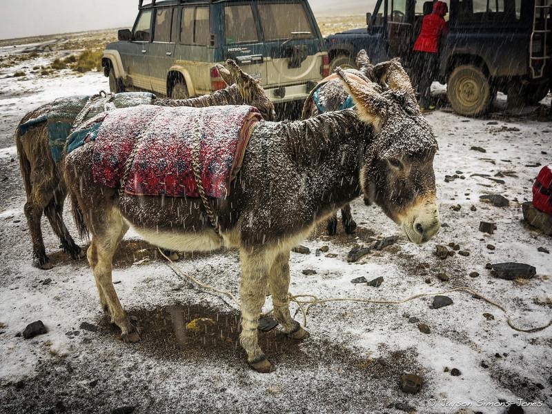 Bolivian donkeys weathering the storm....Condorirri Range, Bolivia