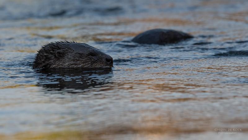 Spot-necked Otter, Chobe River, NAM, Oct 2016-5.jpg