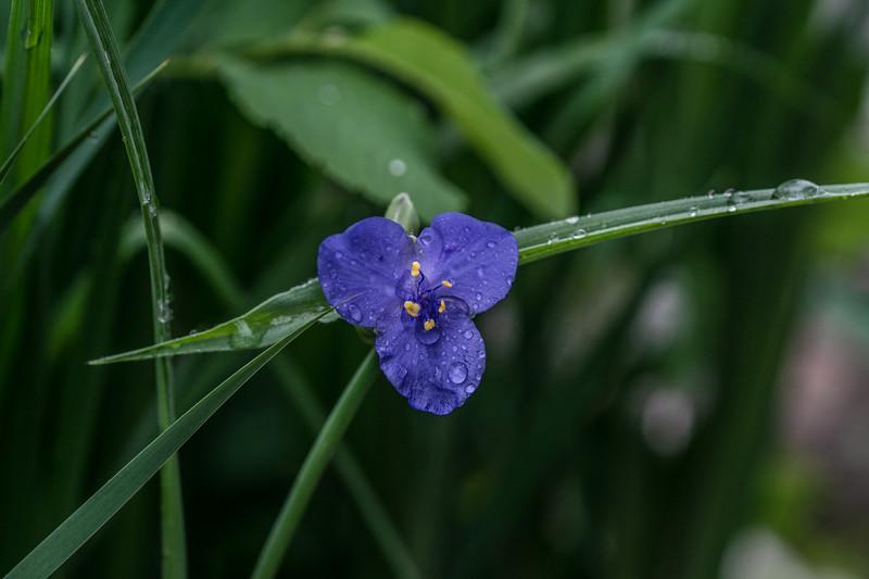 Arboretum Flower Iris-06291.JPG