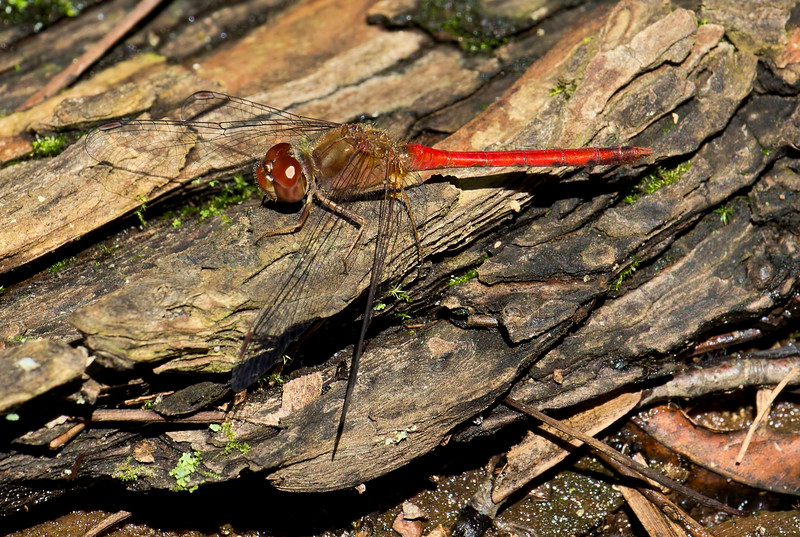 Male, Lum's Pond State Park