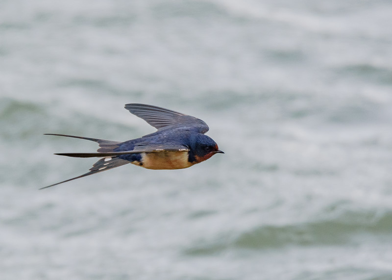 Barn Swallow at Wakarusa WWTF, Wakarusa, IN
