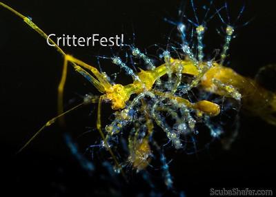 Anilao CritterFest 2015