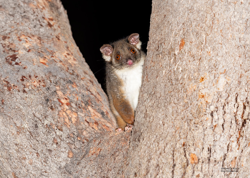 Common Ringtail Possum, Hidden Valley, QLD, Jan 2020-1.jpg
