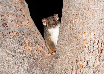 Ringtailed Possums & Greater Gliders (Pseudocheiridae)