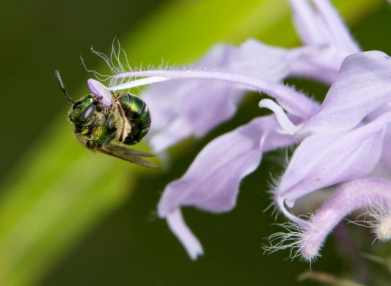 Green Metallic Sweat Bee - Augochloropsis metallica2.jpg