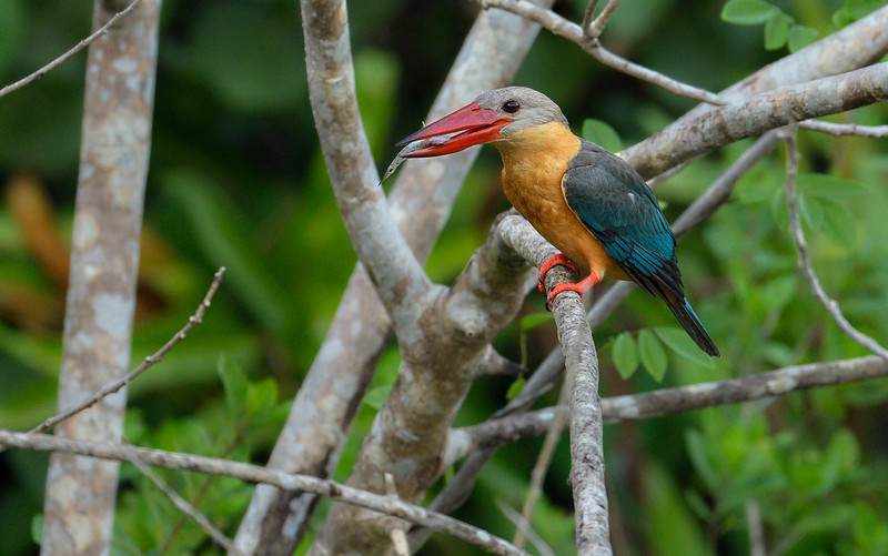 Stork-billed-kingfisher-with-catch-andaman.jpg
