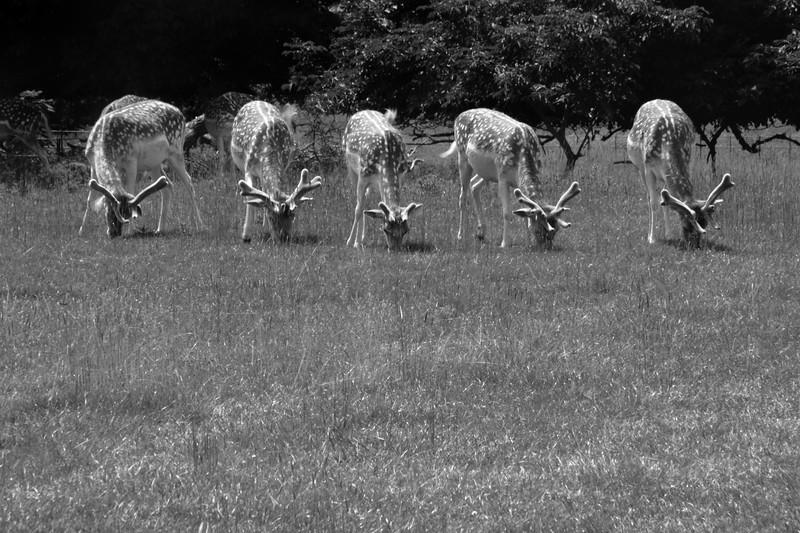 five deer.jpg