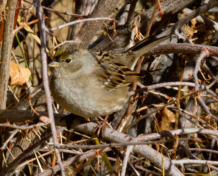 Golden-crowned Sparrow  Bridgport 2012 10 26 (1 of 2).CR2