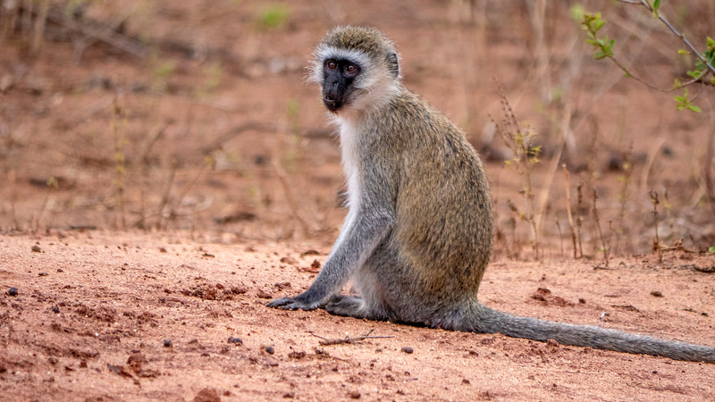 Tanzania-Tarangire-National-Park-Safari-Vervet-Monkey-01.jpg